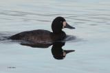 Scaup, Strathclyde Loch, Clyde