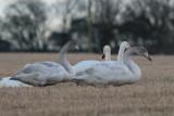 Whooper Swan, Dunino, Fife