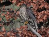 Sparrowhawk, Crail, Fife