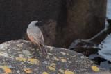 Eastern Black Redstart, Torness, Lothian