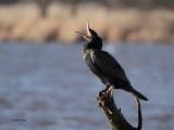 Cormorant, Barr Loch, Clyde