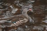 Mandarin Duck, White Cart Water, Glasgow