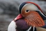 Mandarin Duck, Balloch, Clyde
