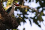 Woodland Kingfisher, Kruger NP, South Africa