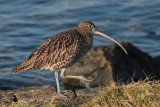 Curlew, Battery Park-Greenock, Clyde
