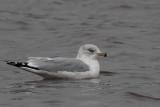 Ring-billed Gull, Strathclyde Park, Clyde
