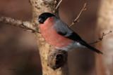 Bullfinch, Balmaha-Loch Lomond, Clyde
