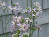 Radish blooming
