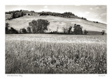 Wheat field,  Citta Della Pieve