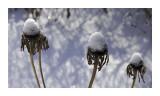 Frozen Thistles