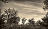 Native Grass Field