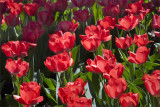 Tulips in Light and Shadow