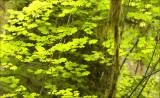 Filtered Light, Hoh Rain Forest, WA