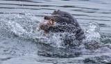 Sea Lion and Fish