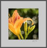 Tiger Lily Detail