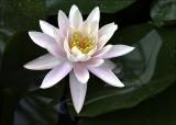 Lotus Flower,  Botanica