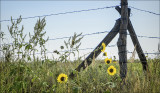 Weeds and Wild Sunflowers