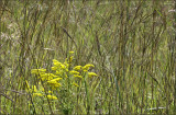 Goldenrod and  Native Grasses