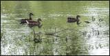 Female Mallard Ducks