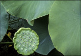 Fresh Lotus Seed Pod