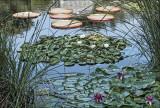 Lotus and Victoria  Amazonica