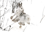Snowshoe Hare:  SERIES