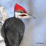 Pileated Woodpecker (m)
