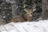 White-tailed Deer:  SERIES