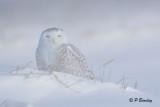 Snowy Owls:  Winter of 2014-2015