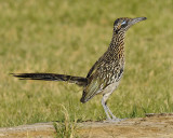 CUCKOOS AND ROADRUNNERS