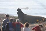 ano_nuevo_2013_elephant_seals