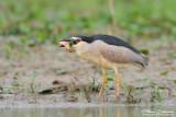 Bihoreau gris Nycticorax nycticorax - Black-crowned Night Heron