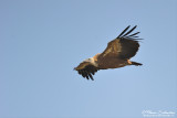 vol de Vautour fauve Gyps fulvus  - Griffon Vulture in flight - Spain