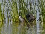 COMMON COOT - FULICA ATRA - FOULQUE MACROULE