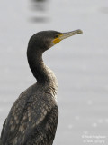 GREAT CORMORANT juv