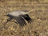 Common Crane juv