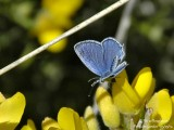 SHORT-TAILED BLUE - CUPIDO ARGIADES - AZURE DU TREFLE