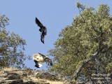 Interaction between Egyptian Vulture and Common Raven