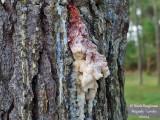 641 Pine resin
