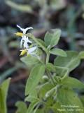 9422 Solanum nigrum