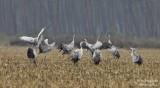 0002 Common Crane