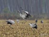 9997 Common Crane