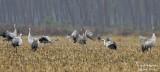 9993 Common Crane