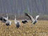 9992 Common Crane