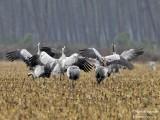 9979 Common Crane