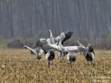 9976 Common Crane