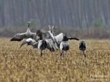 9975 Common Crane