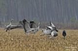 9971 Common Crane