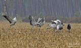 9970 Common Crane