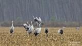 9965 Common Crane